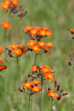web_orange_wild_flowers_19