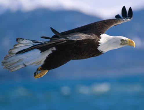 eagleflying